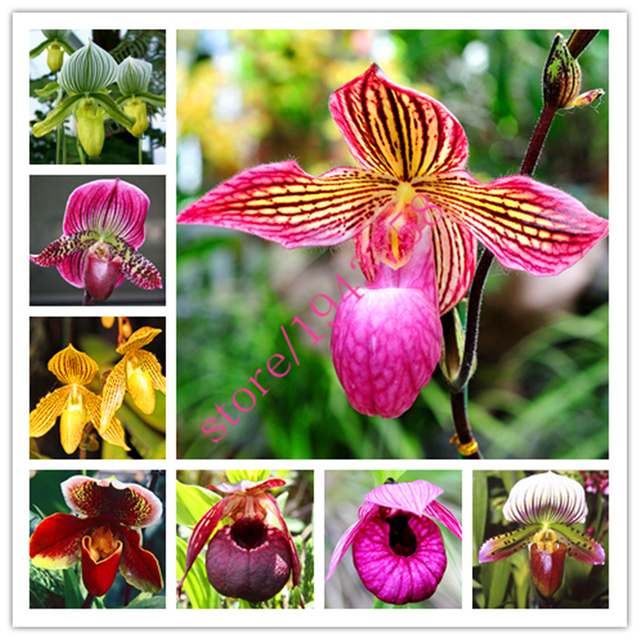 100 Pcs Cypripedium Seeds,Balcony Bonsai Patio Flowers Seeds Paphiopedilum  Slipper Orchid Seeds,perennial