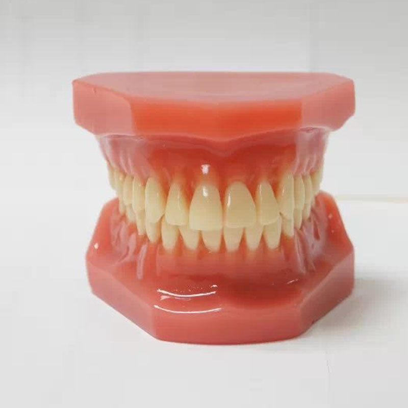 28pcs Teeth Dental Orthodontics Tooth Model Without Bracket