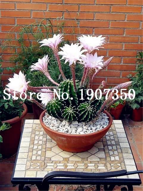 Free Shipping 200 Pcs Succulent Cactus Rebutia Variety Flowering Color Cacti Rare Cactus Flowering Office Succulent Plant