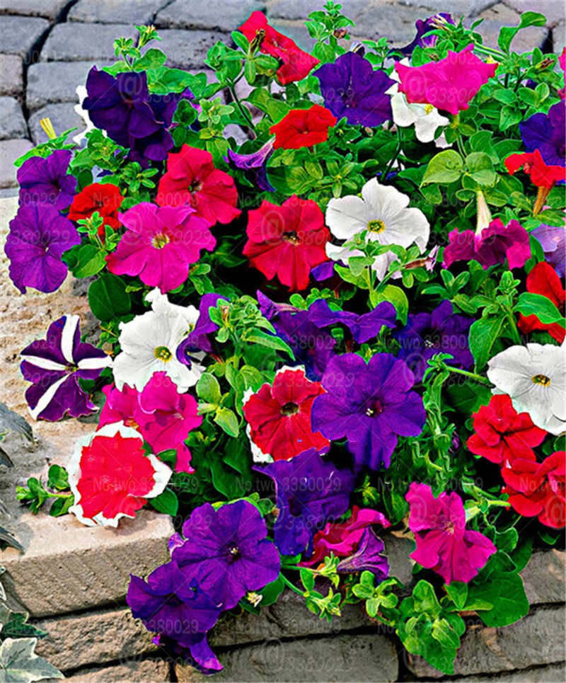 200 шт. смешанные синий Петуния карликовые деревья несколько цветов цветки петунии горшечных растений для дома садовые украшения бонсай растения Флорес