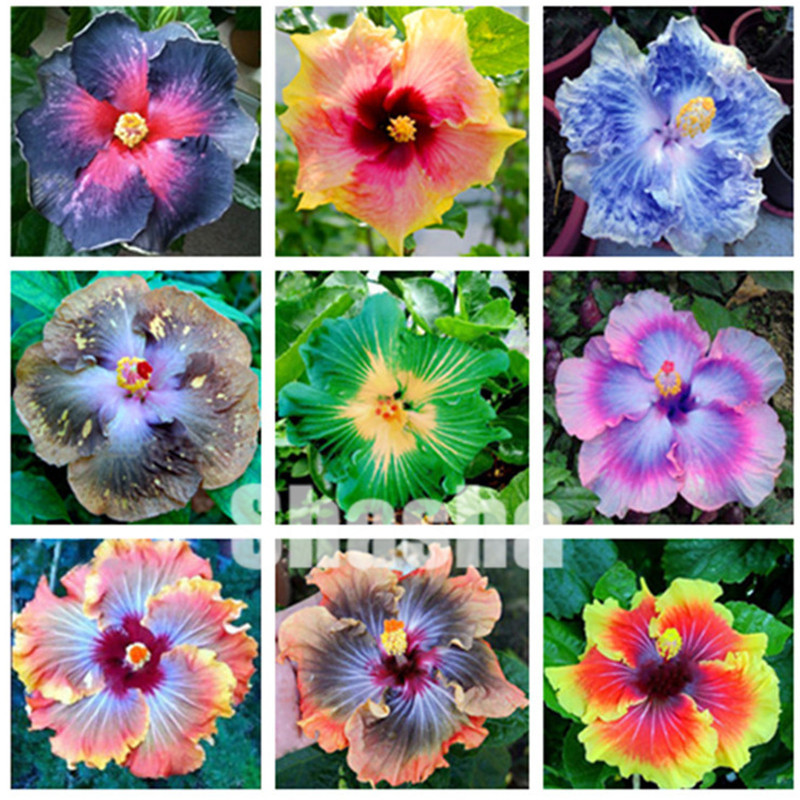 Sale ! 200 Pcs Giant Hibiscus Flower Flores Chinese DIY Plant Hibiscus Bonsai Best Gift For Your Kids Easy Grow Home Garden