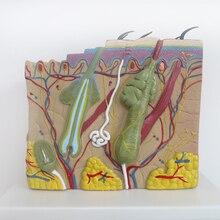70 раз большой структуру кожи анатомия модель косметический кожи модель специальные украшения Clinic персонализированные декоративные фигурки