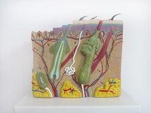 70 volte Grande struttura della pelle modello di anatomia modello decorazione Speciale Clinica della pelle Cosmetici personalizzati decorativi Figurine