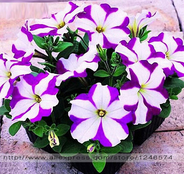 24 Colors Petunia seeds, Charming Petunia Flower seeds, Petunia potted seed, Bonsai balcony flower - 100 pcs/bag
