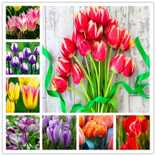 100 Pcs Bonsai Tulip (Not Bulbs)24 Varieties Rainbow High-Grade Flower Potted Plant Most Beautiful * Colorful