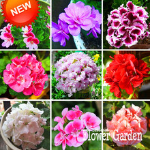 Big Sale!20 Pcs/Bag Geranium Seeds Perennial Flower Seeds Pelargonium Peltatum Seeds, 17 Colors Available,#U6N8BX