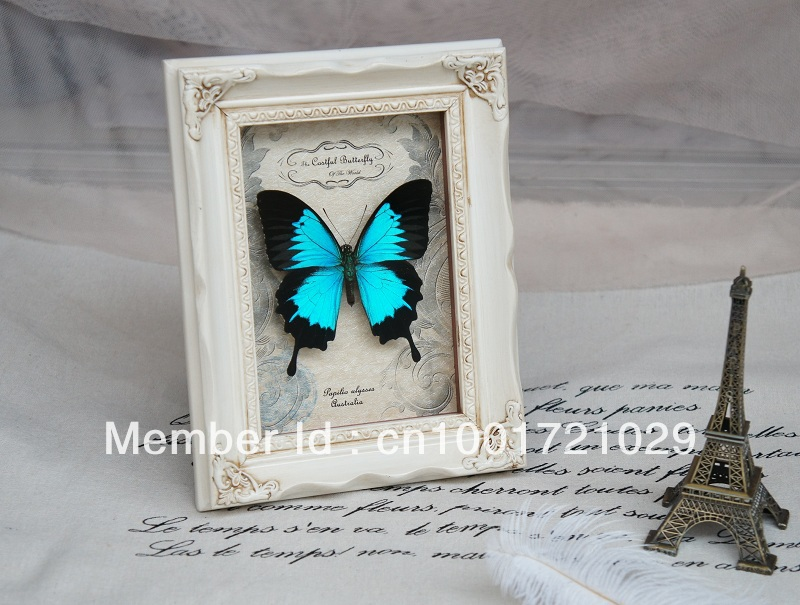 wohnkultur gerahmte schmetterlinge real Papilio Ulysses ...
