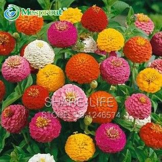 Zinnia Elegans Seeds True Beautiful Fireball Flower Seeds Red Yellow Purple Multicolor Chrysanthemum Seeds - 100 pcs
