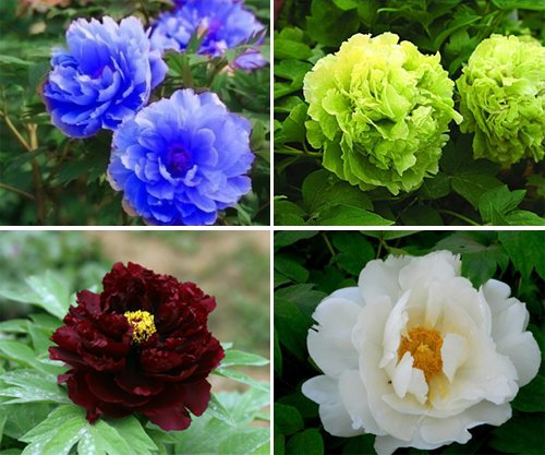 20 Black Flowers And Plants To Add Drama To Your Garden: 6 Packs Of Chinese Blue Green White Black Pink Red Peony