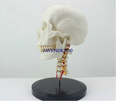 Human Anatomical Anatomy Skull Skeleton Medical Model With Cervical Vertebra mini skull human anatomical anatomy head medical model human anatomical skull model model of the medical skull painting model