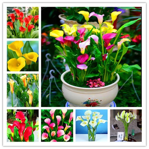 Big Promotion! 200 Pcs Calla Bonsai,Calla Lily Flower,Rare Bonsai Flower Plants (Not Calla Bulbs),Natural Growth For Home Garden(China)