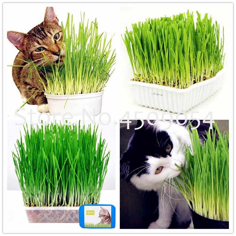 Bonsai cat grass plants 200 pcs cat wheat herb Bonsais Planta for home garden planting Perennial Non-GMO Edible Lemongrass