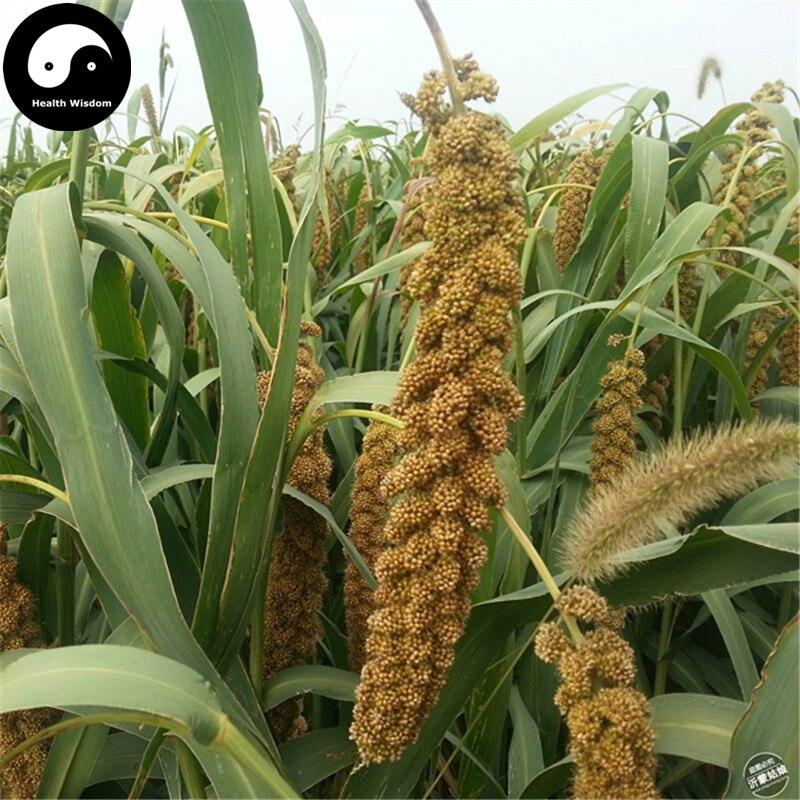 Acheter millet graines 300 pcs plante herbe chinoise for Acheter plante