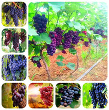 50 Pcs Red Pearl Raisin Fruit Tree Bonsai Orchard Sweet Grape Tree Farm Outdoor Bonsai Plants Potted for Home Garden Supplies(China)