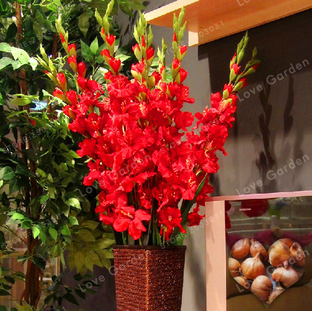 Bulbs Not-Gladiolus-Seed Aerobic 95%Germination Potted DIY Red Rare title=