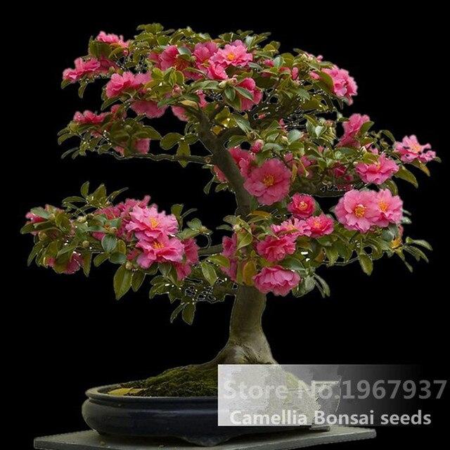 1 Nasionpaczka Kamelia Kwiaty Doniczkowe Nasiona Balkon Bonsai