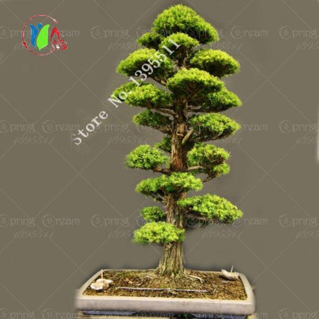 Japanese Cedar Semillas Seeds 28pcs