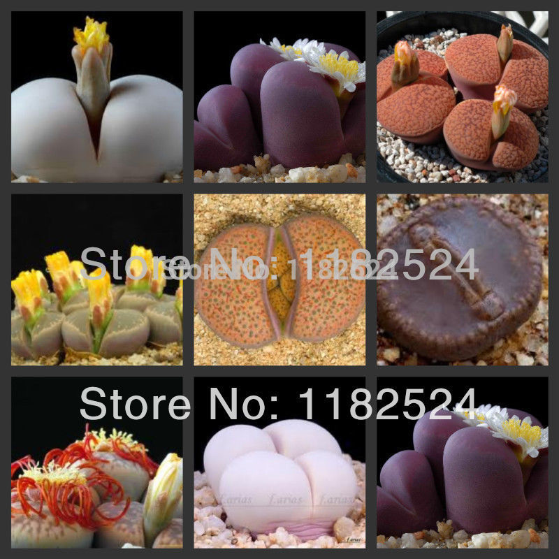 100 SEEDS - Lithops Aizoaceae succulent seeds mix~living stones colorful faces
