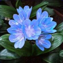 100 Шт. Великолепный Кливия семена (Кафрского Лилии), идеальный дом, сад или цветочный горшок, редко реальные семена, бонсай цветок семена кливия растений