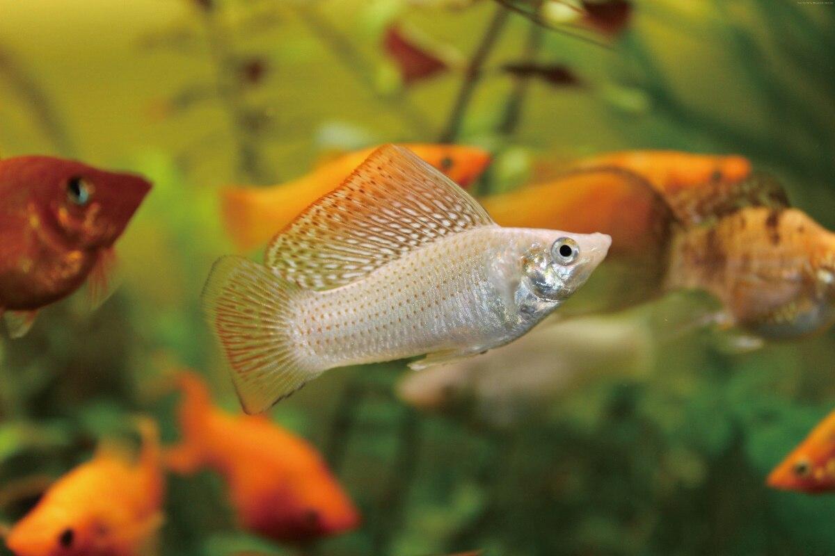 Freshwater aquarium fish poster - Fish Aquarium Painting
