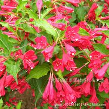 2017 Sale Summer Seeds Seasons Weigela Tree Wholesale Authentic Mountain Zhi Ma Colored Seeds Begonia Real Shot 0.2kg/lot