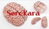 1:1 Human Anatomical Brain Epiphysis Dissection Medical Organ Teach Model School Hospital