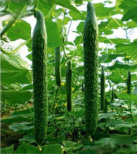 Qiu Sheng hot vegetable seeds cucumber seeds 20seeds