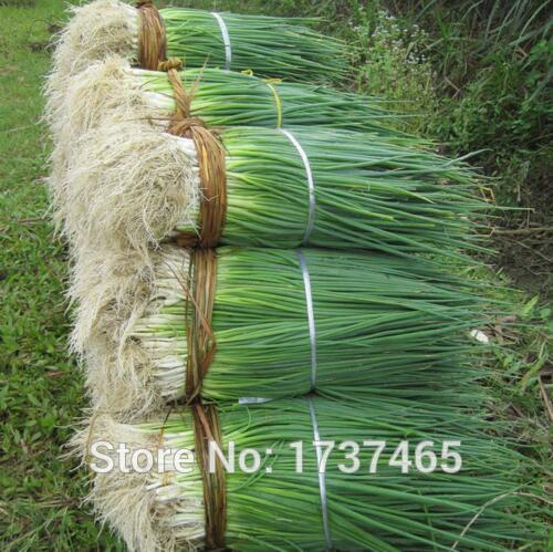 500 unids/lote estaciones cebollas puerros balcón plantas bonsai vegetales orgánicos cebollino envío gratis