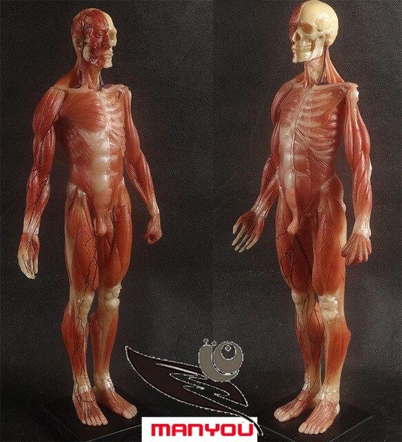 45 cm menschlichen modell anatomie muscle Skeleton muskelmodell in ...
