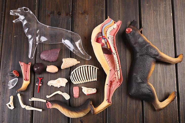 Dog anatomy model