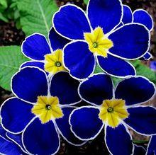 Promotion!!! 100 Evening Primrose- Blue Evening Primrose,fragrant DIY Home Garden flower hardy plant,Free Shipping