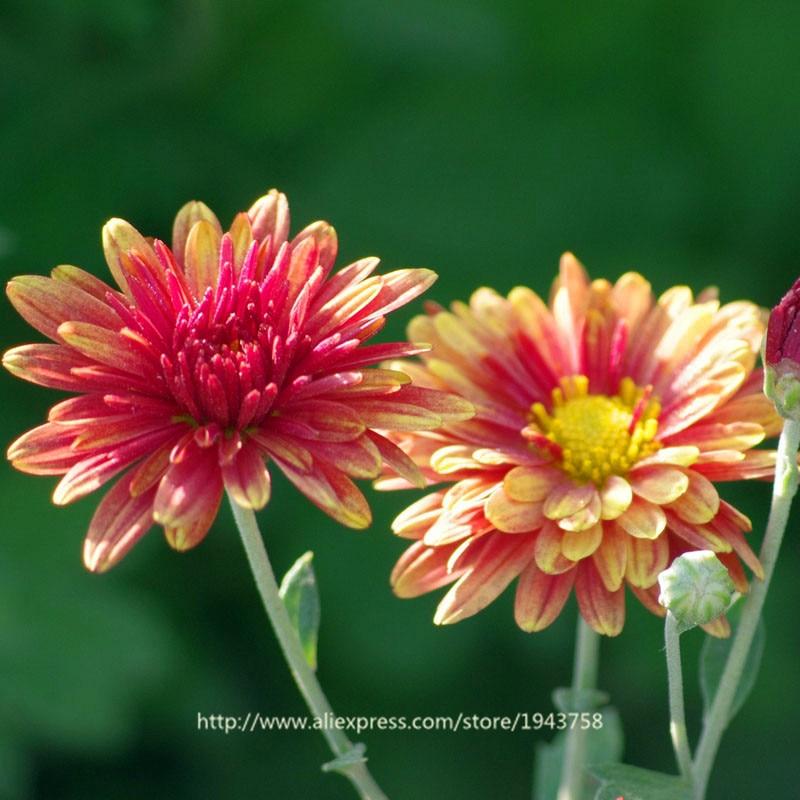 50 Seeds Color Gorgeous Dahlia Flower Colors To Choose Beautiful Garden Bonsai