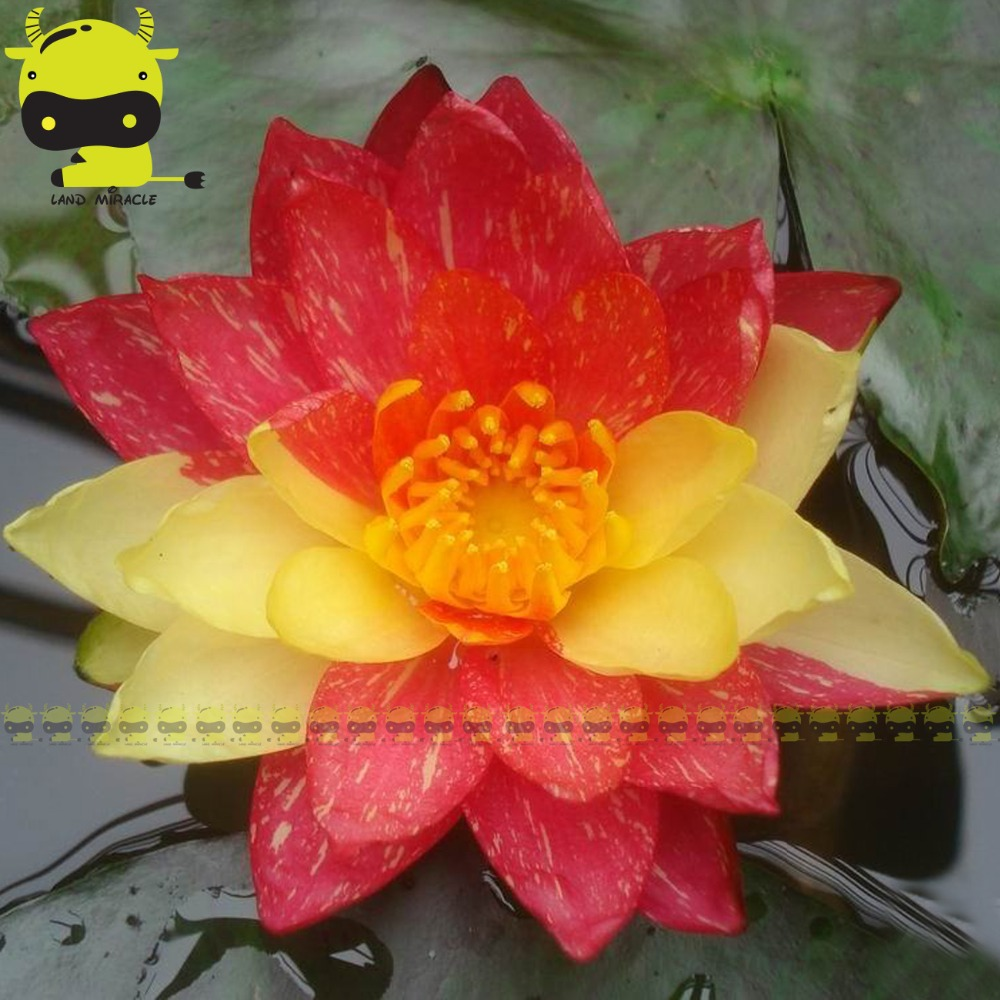 Rare red with white hybrid variety lotus flower seeds 1 seedpack new hybrids striped lotus flower seeds 1 seedpack rare aquatic plants nelumbo izmirmasajfo Images