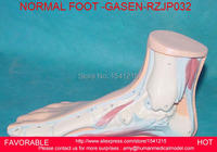 MEDICAL ANATOMY HUMAN FOOT NORMAL, FLAT,FLAT AND ARCHED FOOT, FOOT ANATOMY MODEL,HUMAN SKELETON MODEL NORMAL FOOT GASEN RZJP032