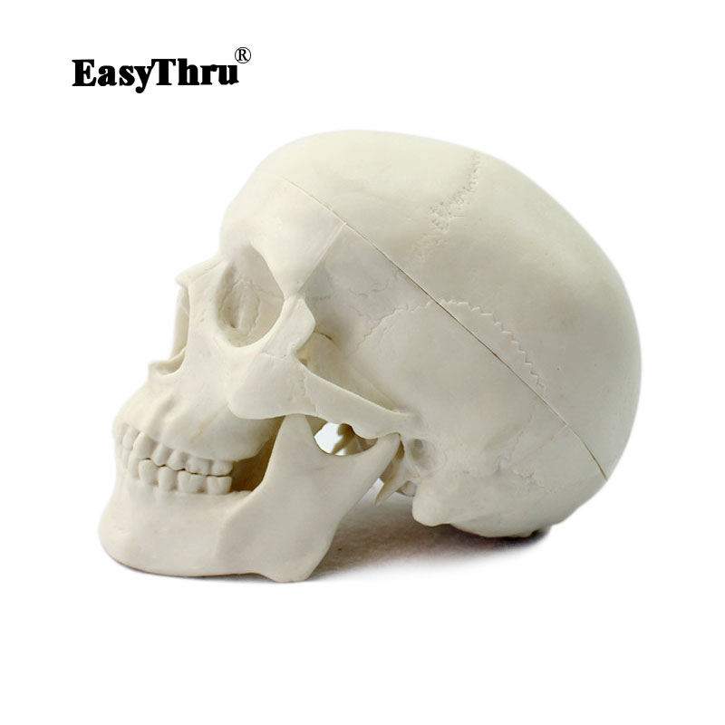 EasyThru Head Skeleton Skull Model Medical Science Teaching Human Anatomy Precise Adult Head Medical ModelEasyThru Head Skeleton Skull Model Medical Science Teaching Human Anatomy Precise Adult Head Medical Model