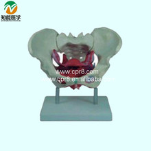 Female Pelvis Model With Pelvic Floor Muscle BIX-A1025  G138