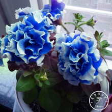 50 pieces/Bag Petunia Petals Blue With White Side Garden Home Bonsai Balcony Flower Petunia Flower Plants,#DMNY6Y