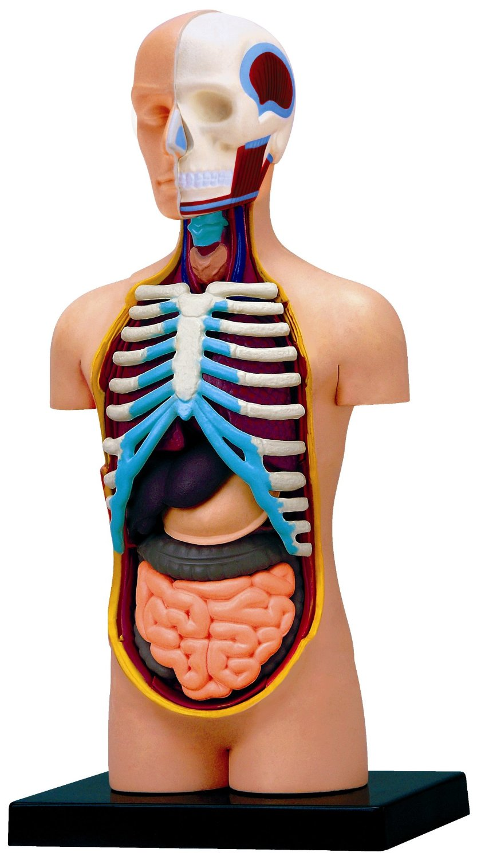 Medical Human Skull Skeleton Anatomical Model 15 Inches Deluxe Torso