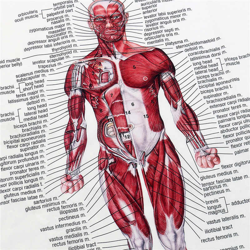 Detail Feedback Questions About Muscle System Posters Silk Cloth