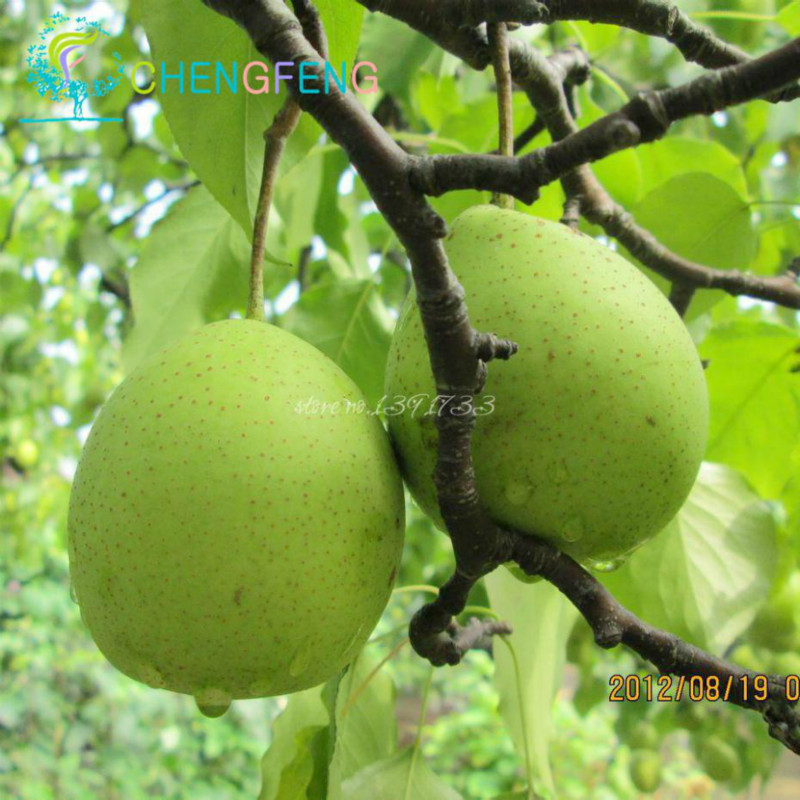 Hot Sale 10 Pcs * Bag Pear Seeds New High Quality Fruit Seed Bonsai Gift Perennial Tree Beautiful Flowering Plants Free Shipping