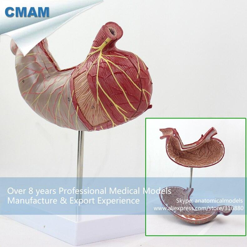 12535/CMAM-STOMACH02 Stomaco Umano Modello Anatomico in Stand, 2 parti, La Scienza Medica Insegnamento Educativo Modelli Anatomici12535/CMAM-STOMACH02 Stomaco Umano Modello Anatomico in Stand, 2 parti, La Scienza Medica Insegnamento Educativo Modelli Anatomici