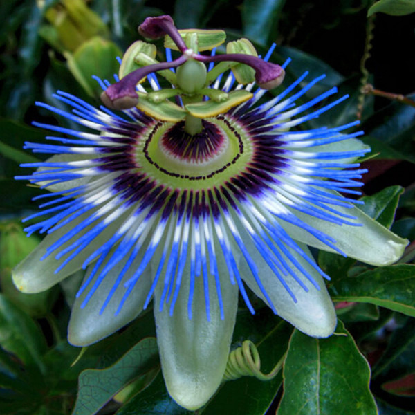 Exotic passion fruit seeds purple passiflora edulis passion flower exotic passion fruit seeds purple passiflora edulis passion flower outdoor plant 10pcslot in bonsai from home garden on aliexpress alibaba group mightylinksfo
