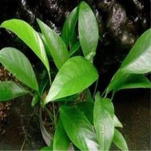 Ngryise 1 قطعة مجموعة Anubias congensis(China)