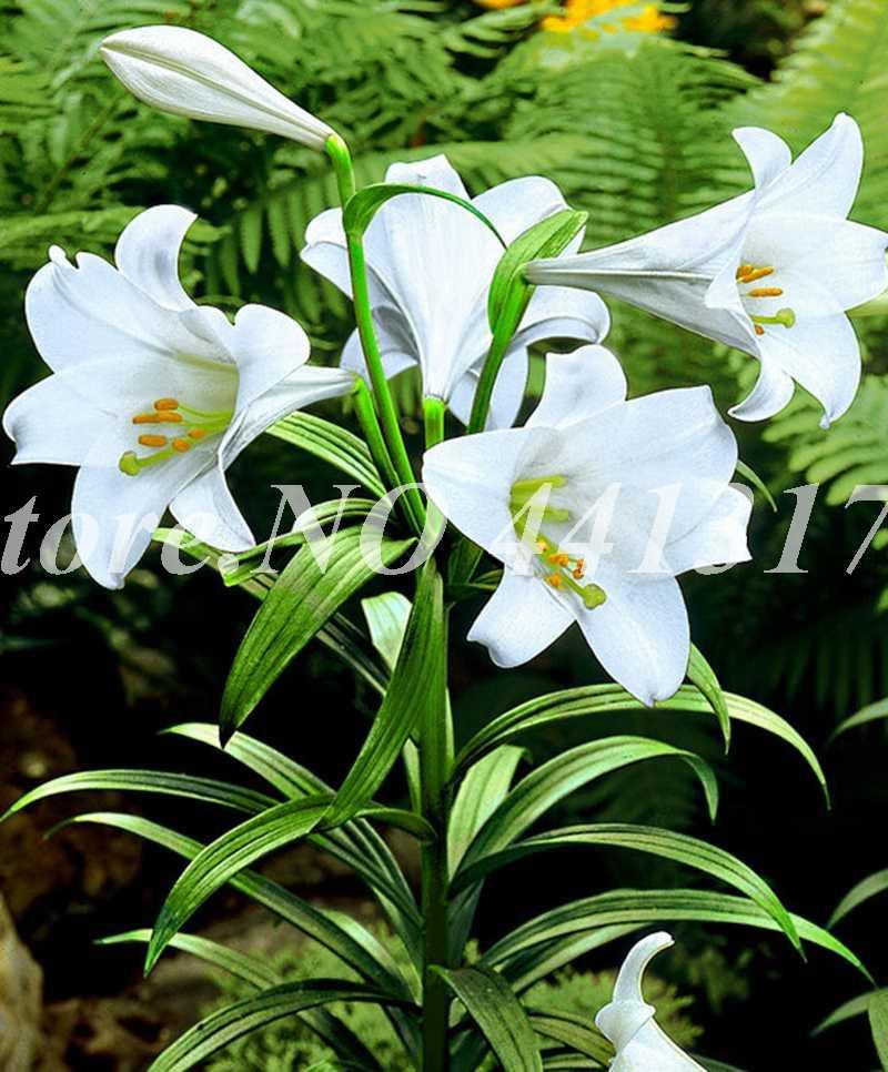 100 Pcs ในหัวใจสีชมพู Lily Plant Bonsai Plant Lily ดอกไม้สำหรับ Home Garden Flore หม้อชาวไร่อัตราการงอก 95%