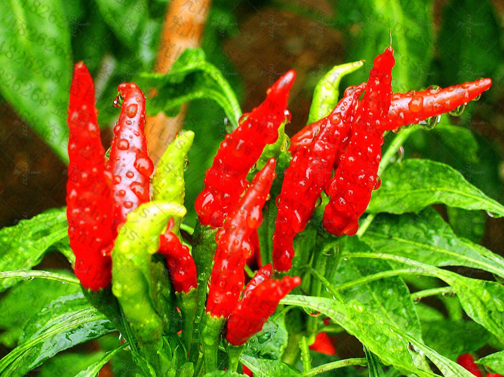 100-Pcs-bag-Various-Chili-Red-Pepper-Bonsai-Plant-Healthy-Vegetables-PlantsDIY-Home-Garden-Organic-Vegetable (1)_