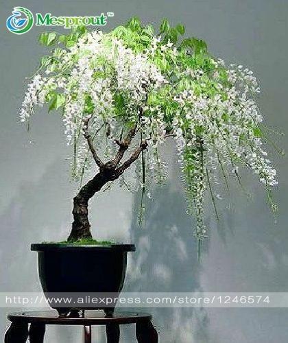 Online kaufen gro handel glyzinien sinensis bonsai aus for Bonsai versand