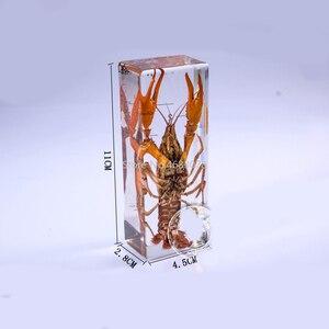 Image 2 - Brand New homara z wzorem przedstawionym w jasne Lucite edukacyjne poznaj Instrument 11x4.5x2.8 cm