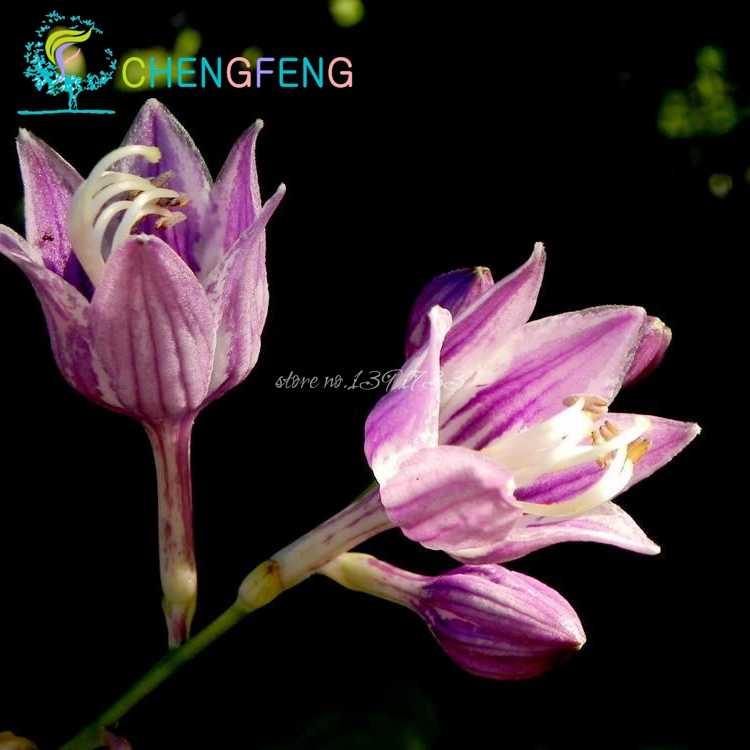 Detail Feedback Questions About 100pcs Hosta Plants Perennial Bonsai