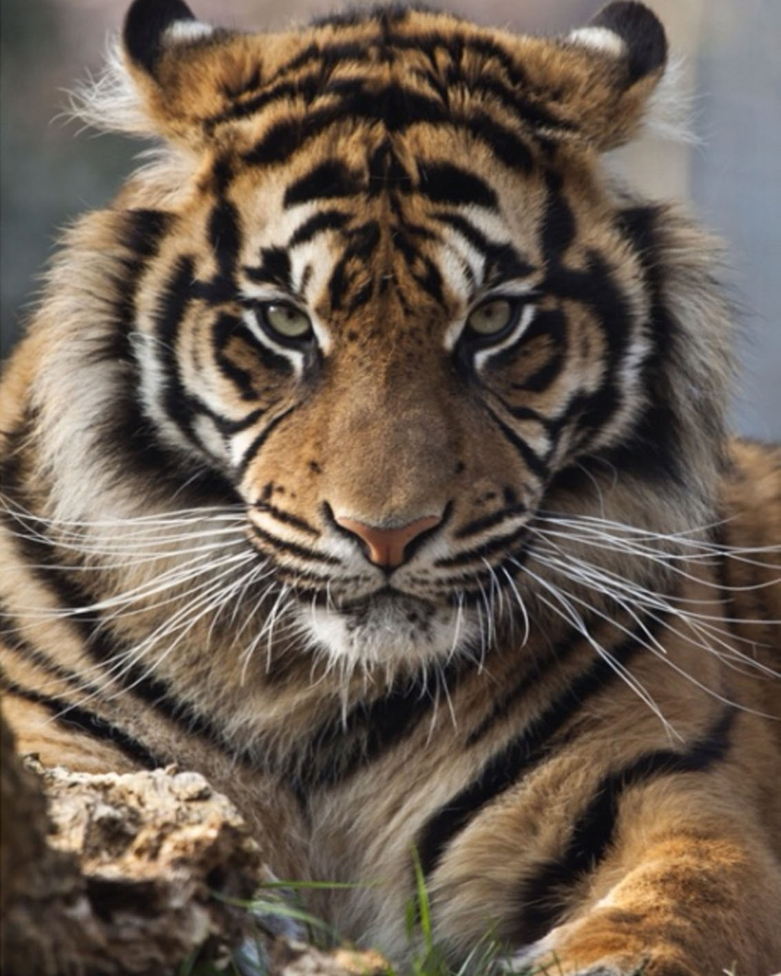 Popular Animal TigreBuy Cheap Animal Tigre lots from