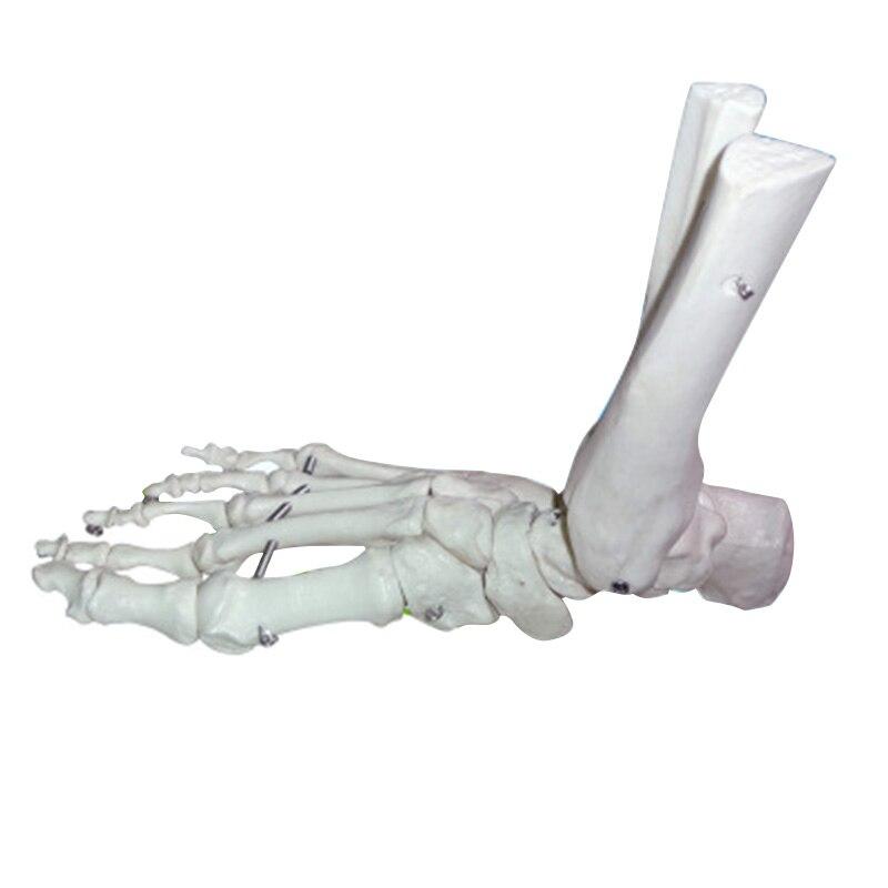 Fuß Knochen Modell Fuß Sohle Gelenke von Fuß Knöchel Tibia und ...